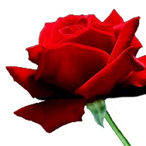 Rose-placeholder